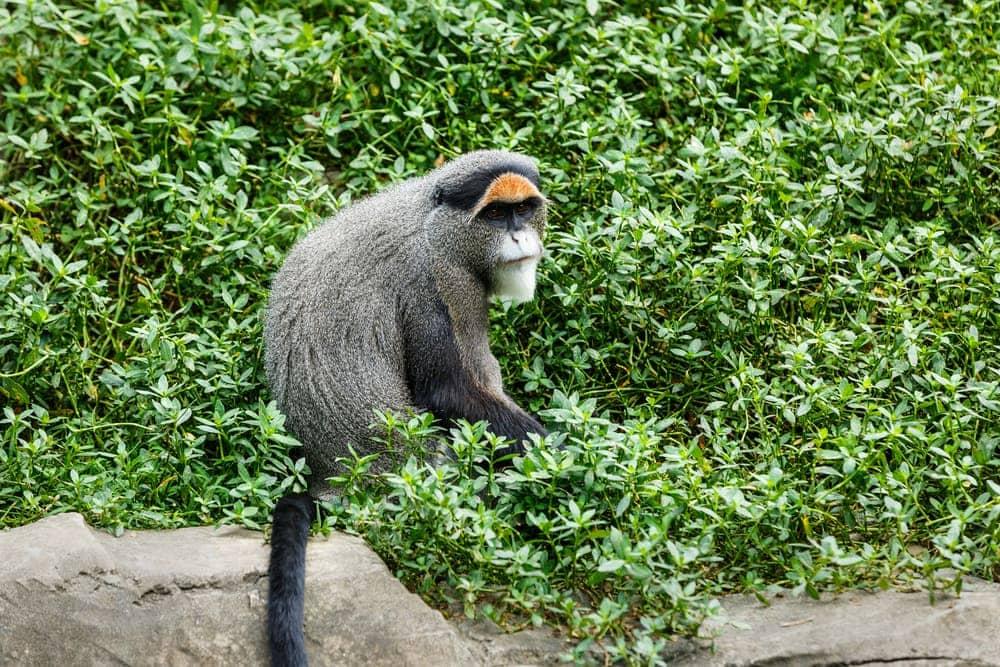 De Brazza's Monkey (Cercopithecus neglectus)