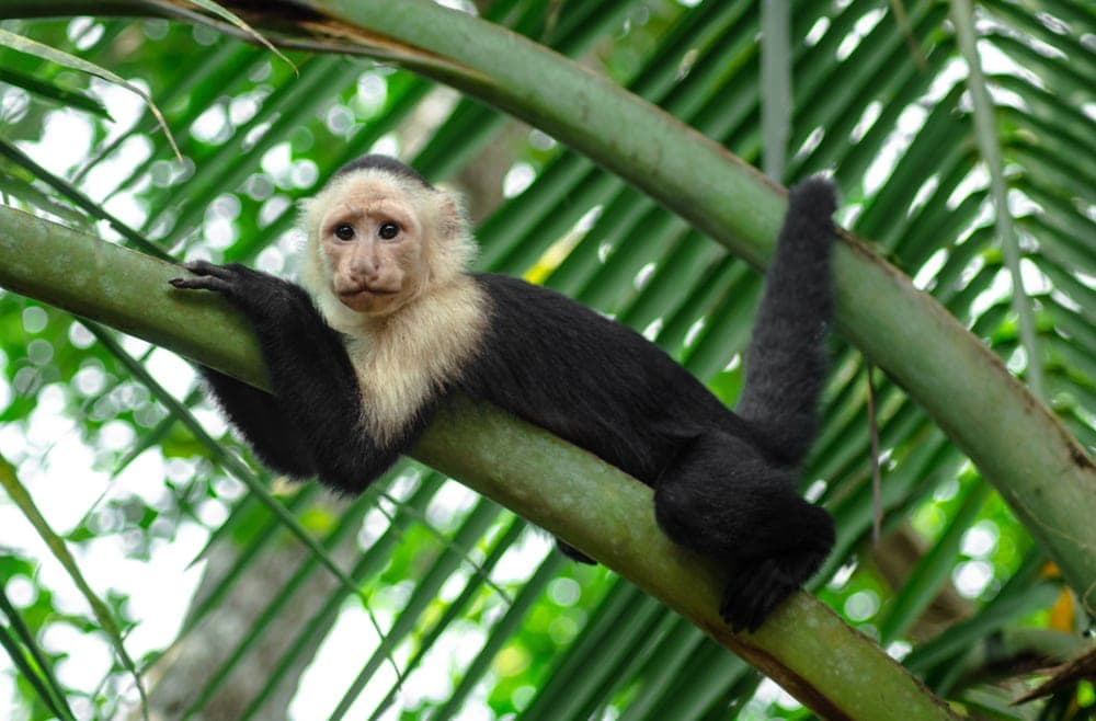 Panamanian White-Faced Capuchin (Cebus imitator)