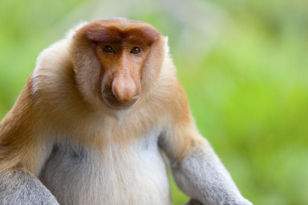 Portrait of a Proboscis Monkey (Nasalis larvatus)