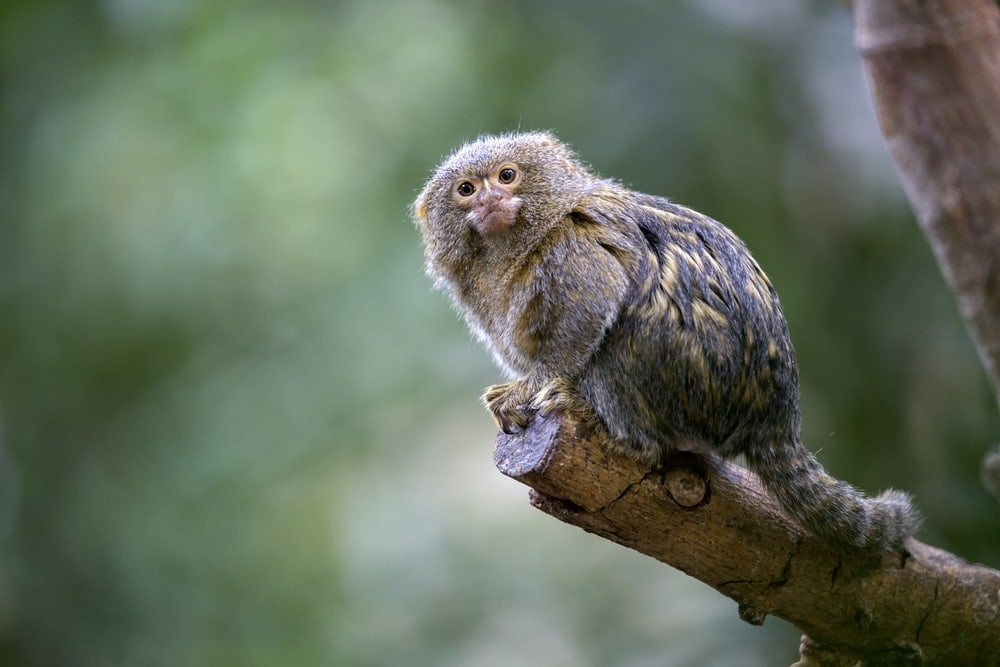 Pygmy Marmoset (Callithrix pygmaea), a small type of new world monkeys