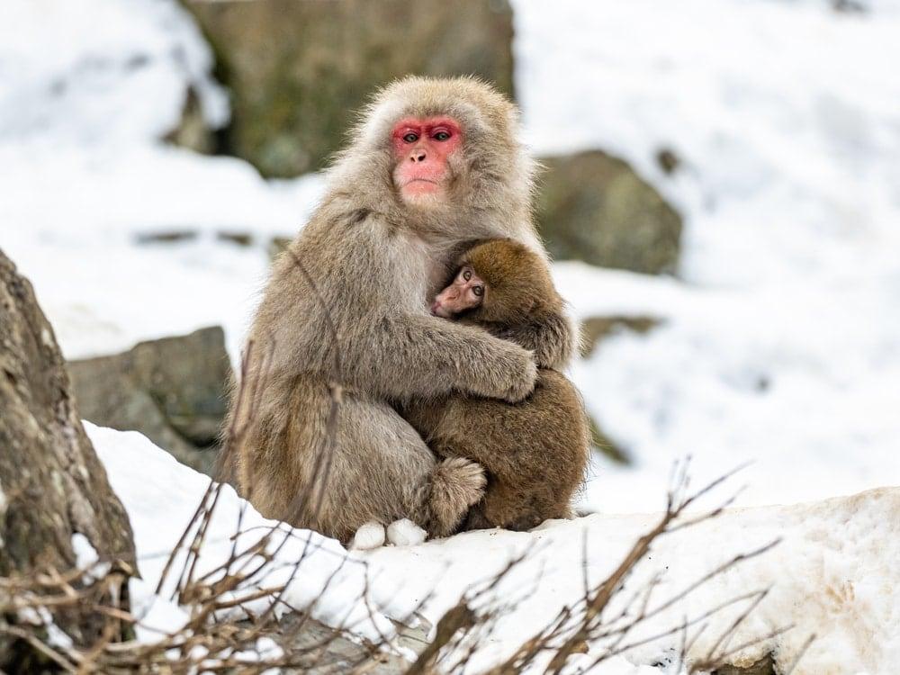 Two Snow Monkey (Macaca fuscata) hugging