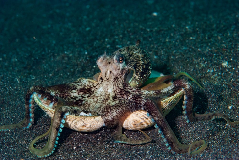 Coconut octopus on shell