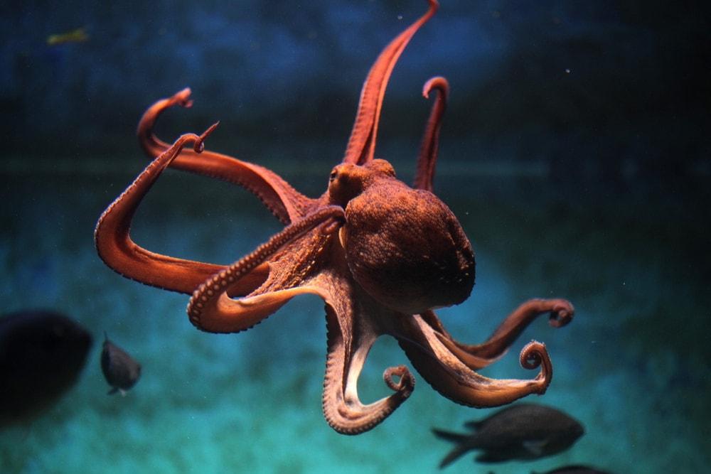 Orange octopus portrait