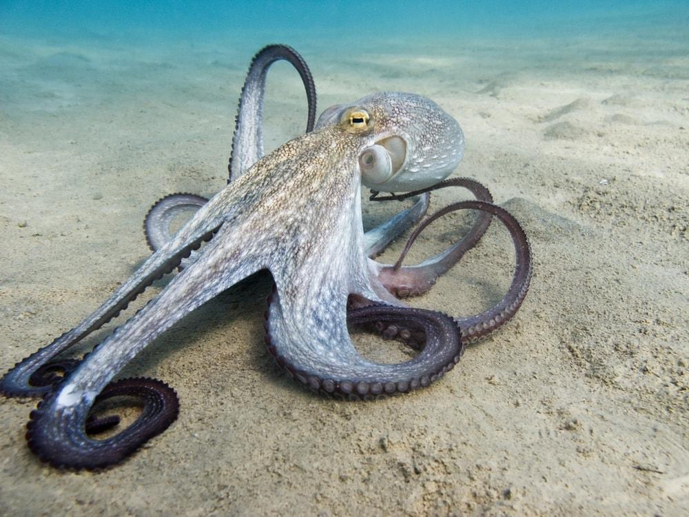 Common octopus on underwater sand