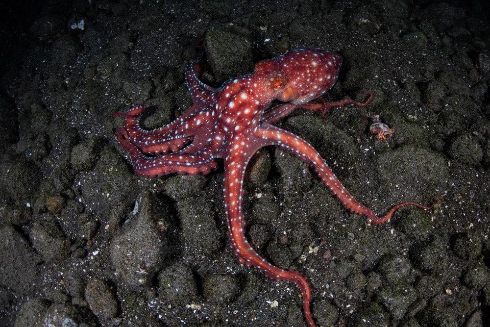 Night Octopus on rocks underwater