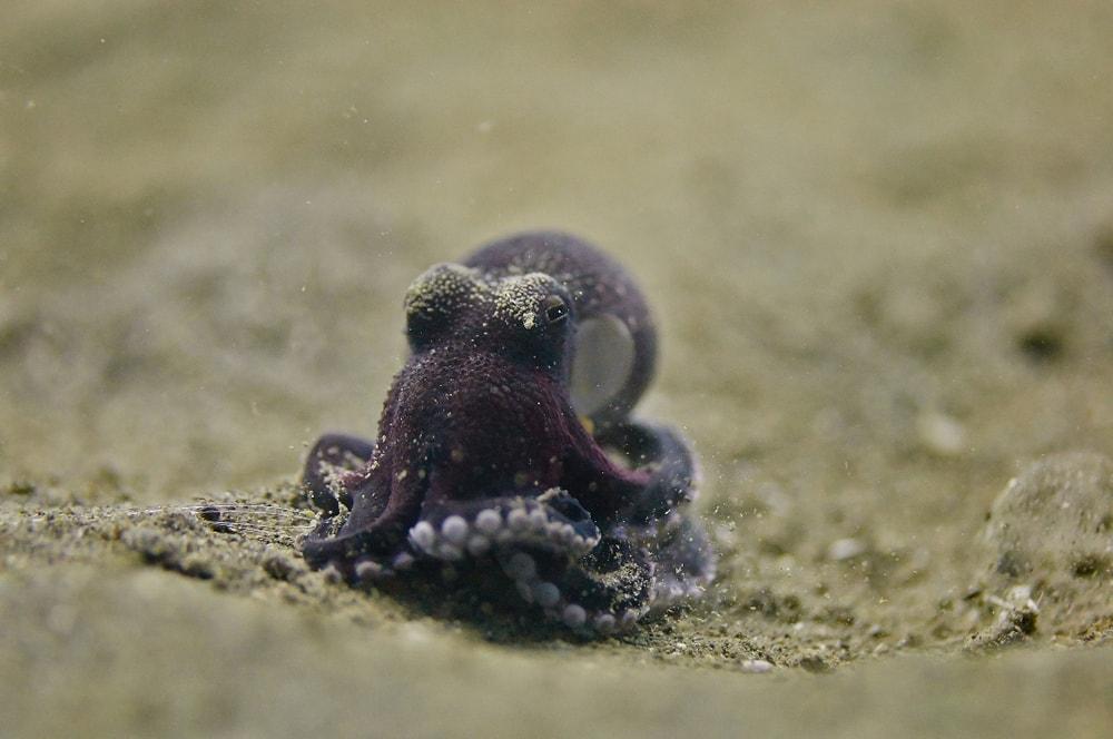 Black pygmy octopus