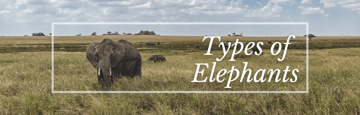 Types of Elephants Featured Image