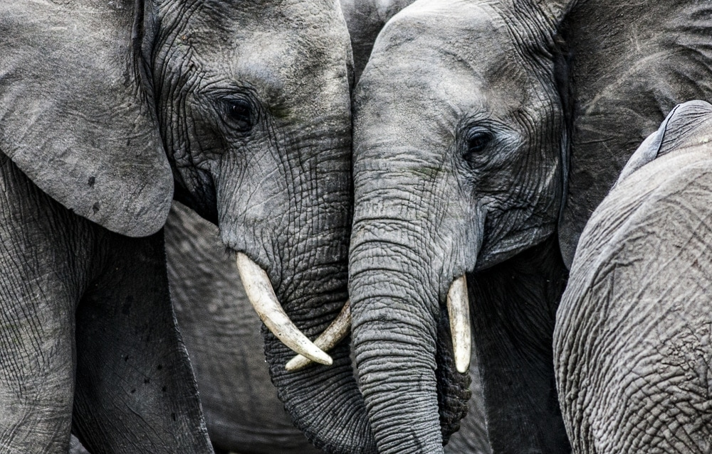 Close up picture of two elephants facing each other