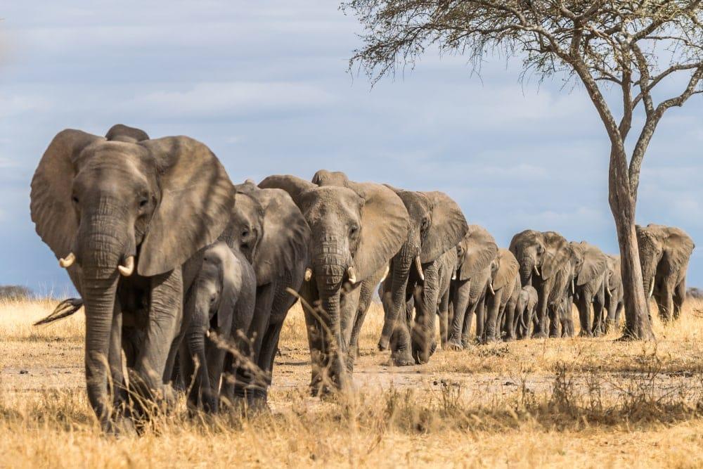Herd of Elephants walking through the grass in Africa