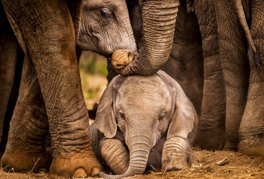 Baby elephant protected by herd