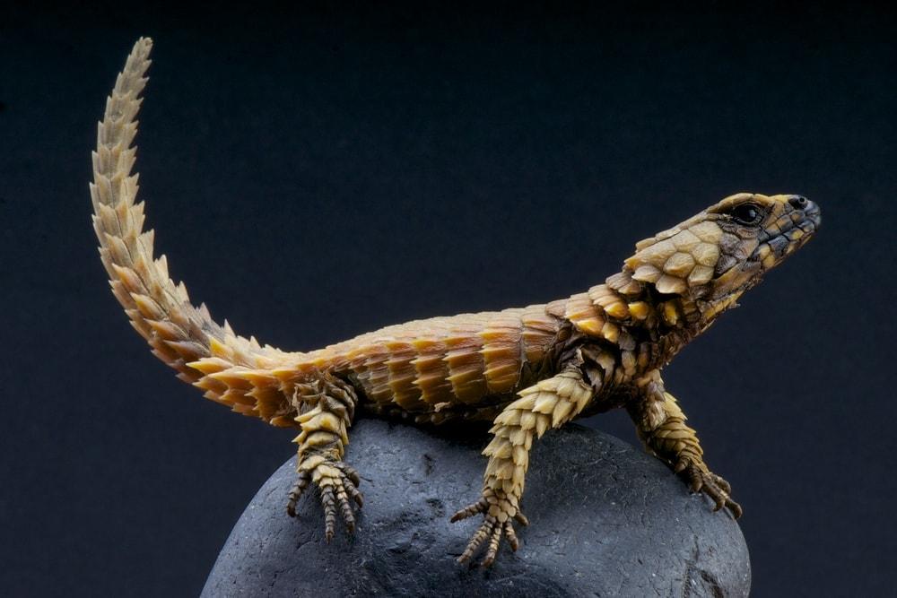 Armadillo Girdled Lizard (Ouroborus cataphractus)