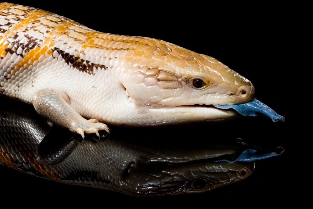 Northern Blue Tongue Skink (Tiliqua scincoides intermedia)
