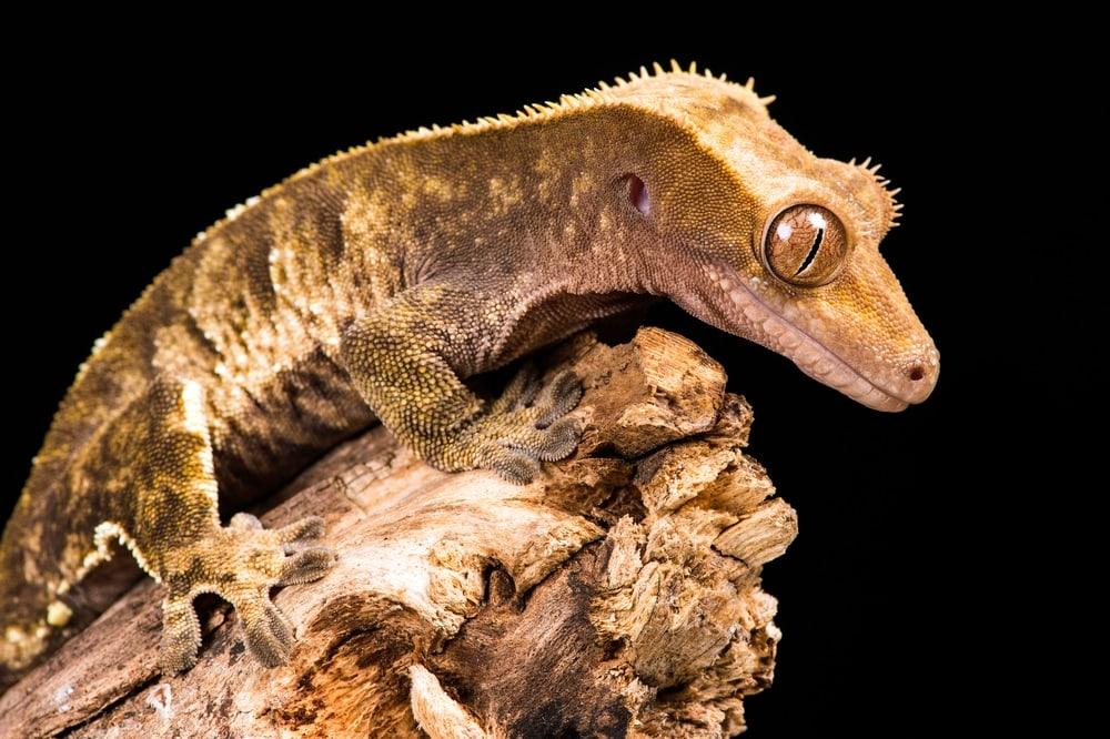 New Caledonian Giant Gecko (Rhacodactylus leachianus)