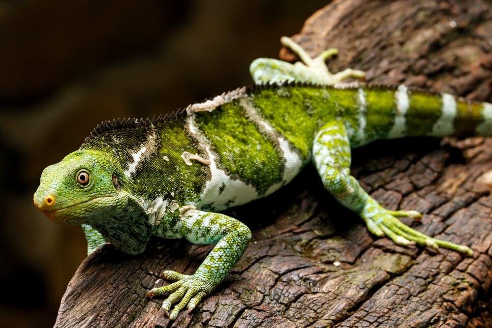 Fiji Crested Iguana (Brachylophus vitiensis)