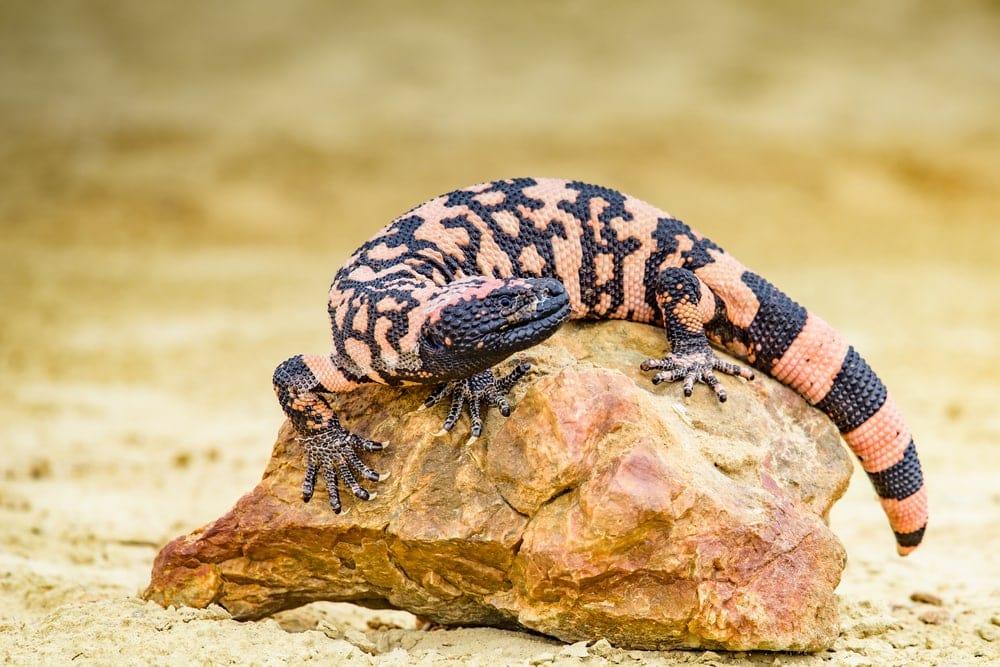 Gila Monster (Heloderma suspectum) a venomous type of lizard