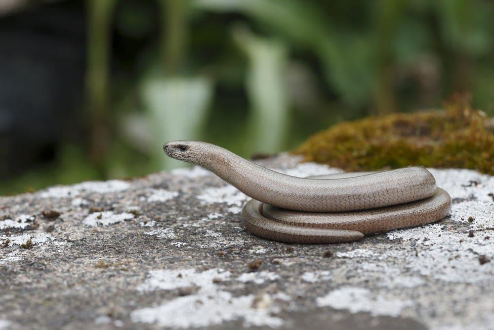 Glass legless lizard from Infraorder Diploglossa
