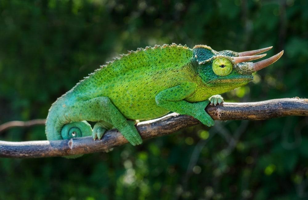Jackson's Chameleon (Trioceros jacksonii) also known as the Kikuyu three-horned chameleon