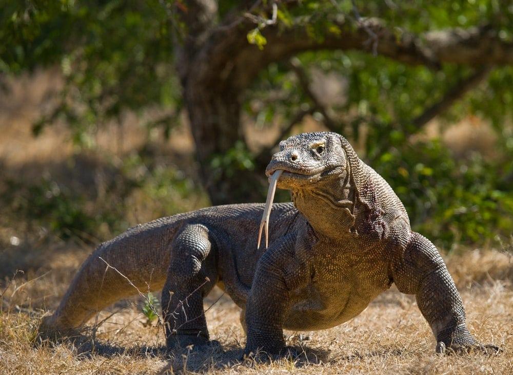 Komodo Dragon (Varanus komodoensis) the largest lizard in the world