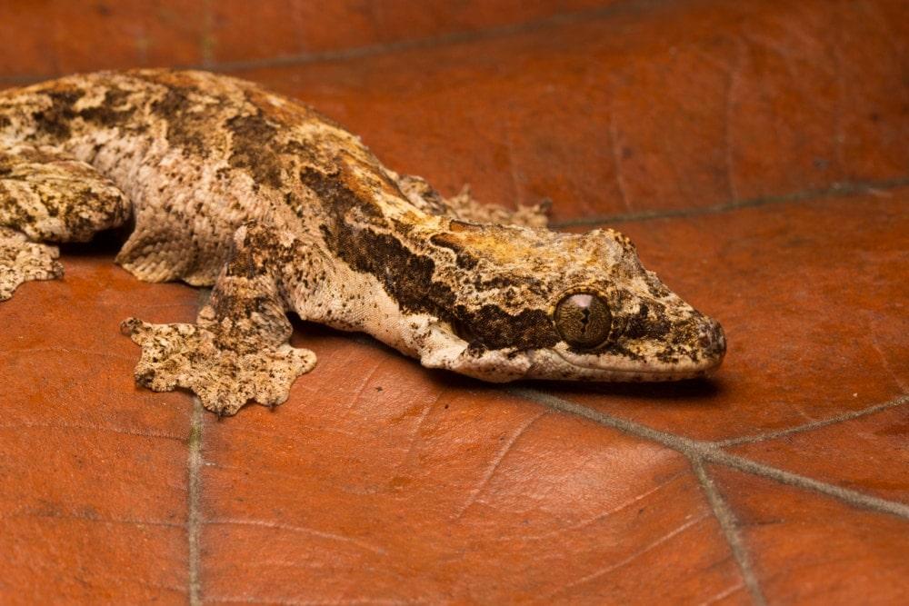 Kuhl's Flying Gecko (Gekko kuhli)