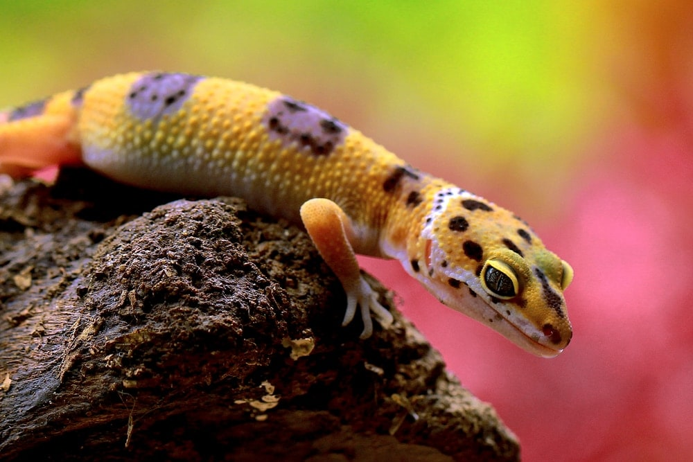 Common Leopard Gecko (Eublepharis macularius)