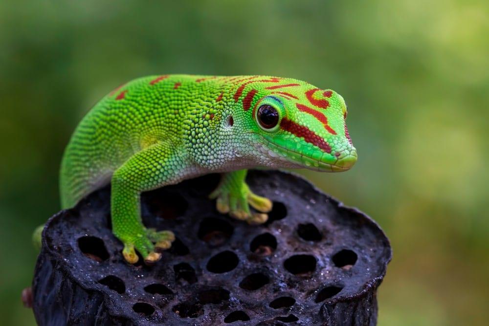 Bright neon Madagascar giant day gecko from infraorder Gekkota on dry bud