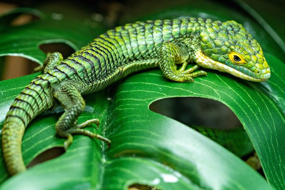 Mexican Alligator Lizard (Abronia graminea)