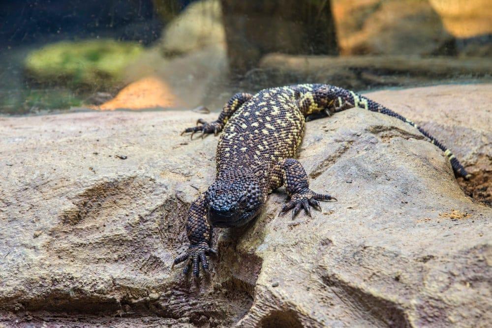 Mexican Beaded Lizard (Heloderma horridum)