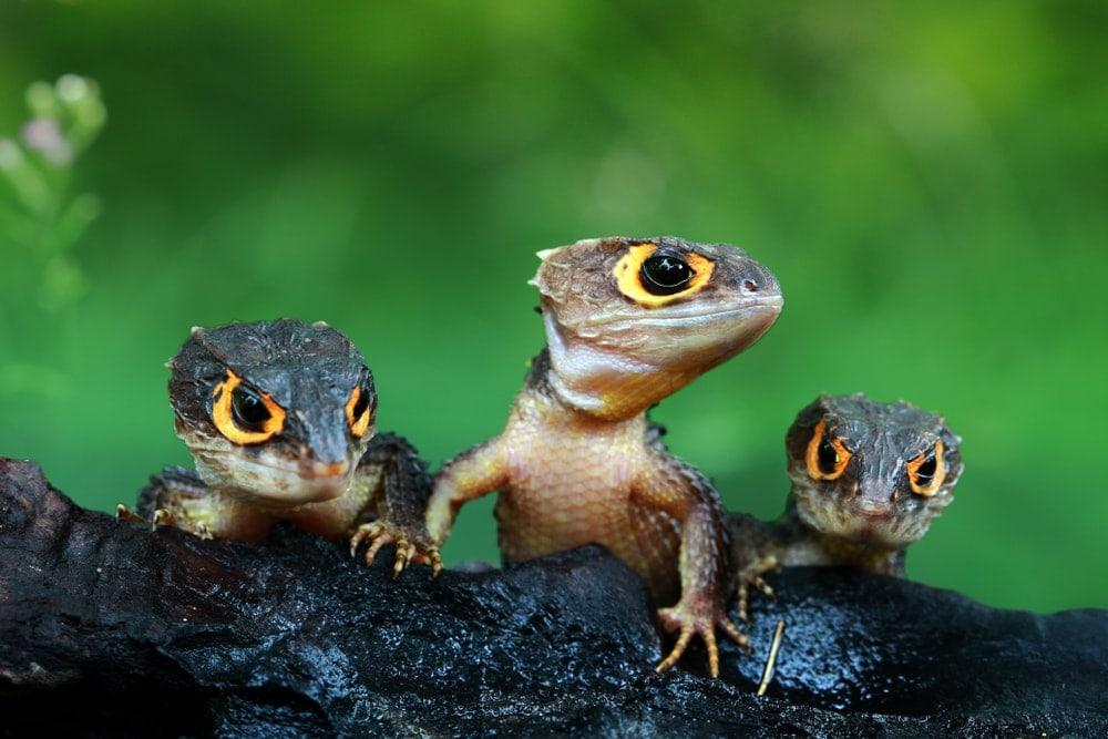 Three cute crocodile skink under infraoder Scincomorpha