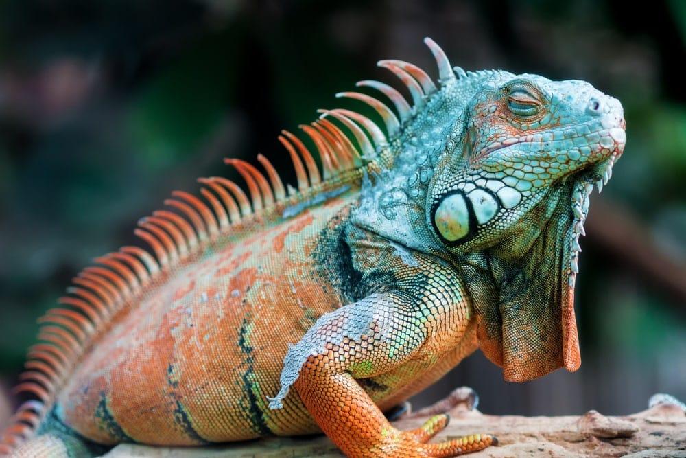 Close-up image of a resting orange colored Green iguana