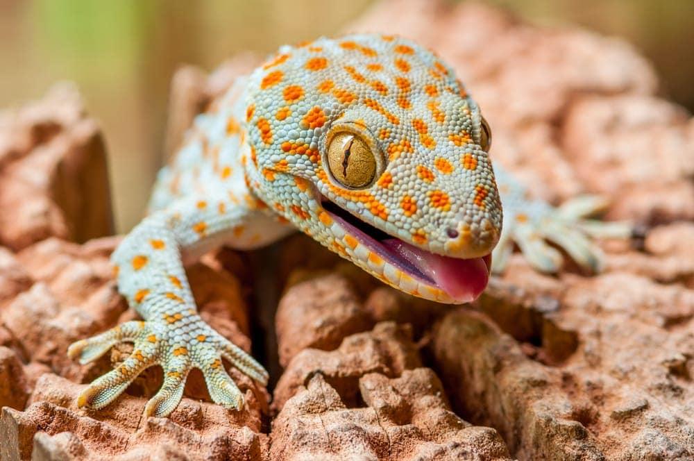 Closeup of a Tokay Gecko (Gecko gecko)