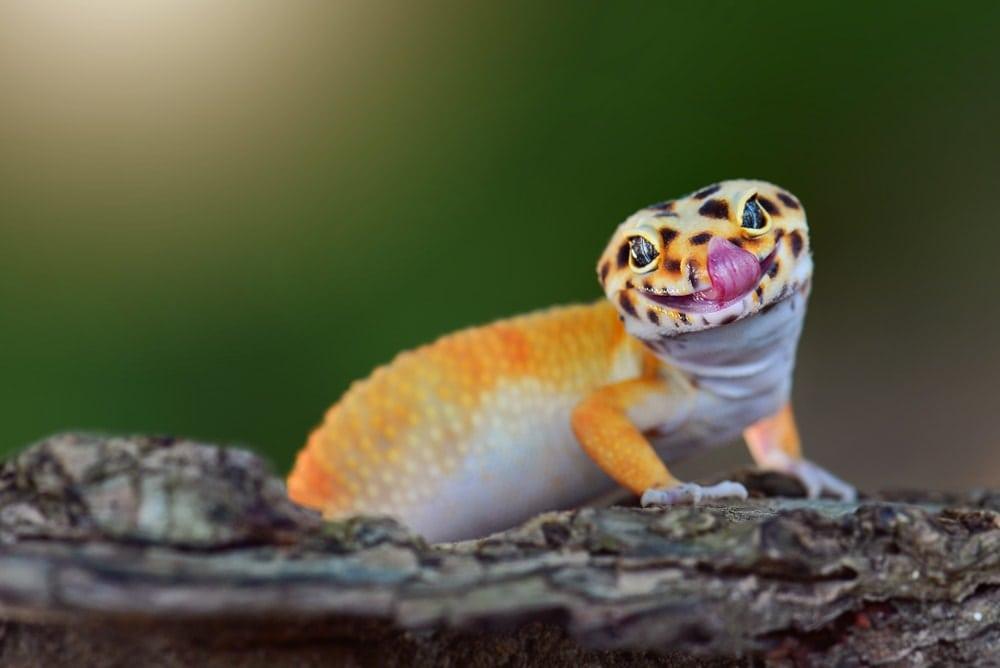 Cute smiling yellow gecko