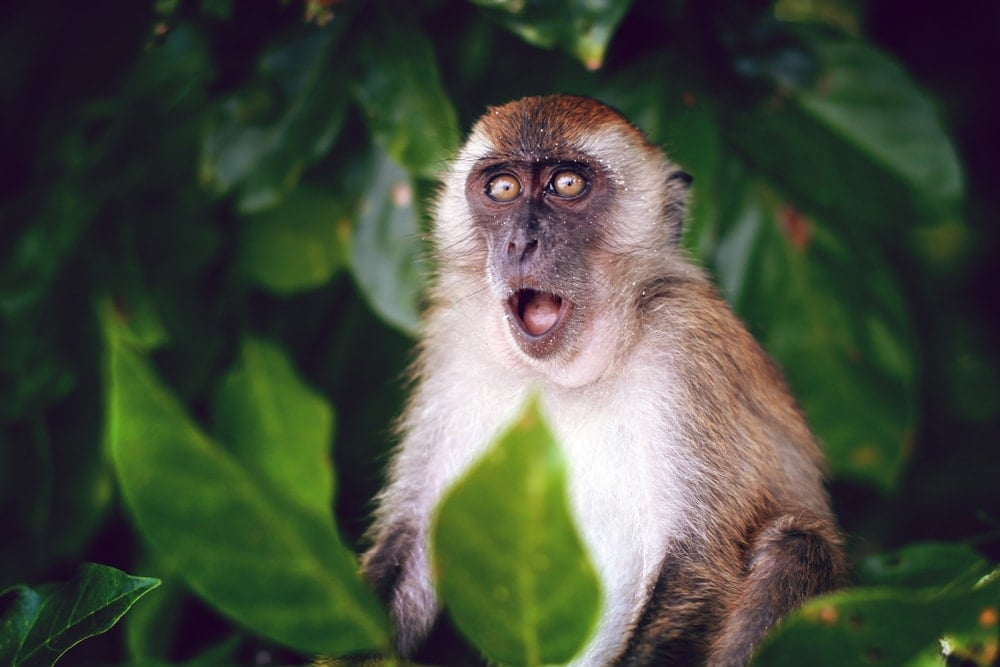 Suprised monkey portrait with leaves background