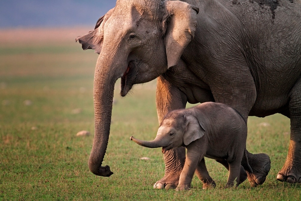 Mother and baby elephant walking together