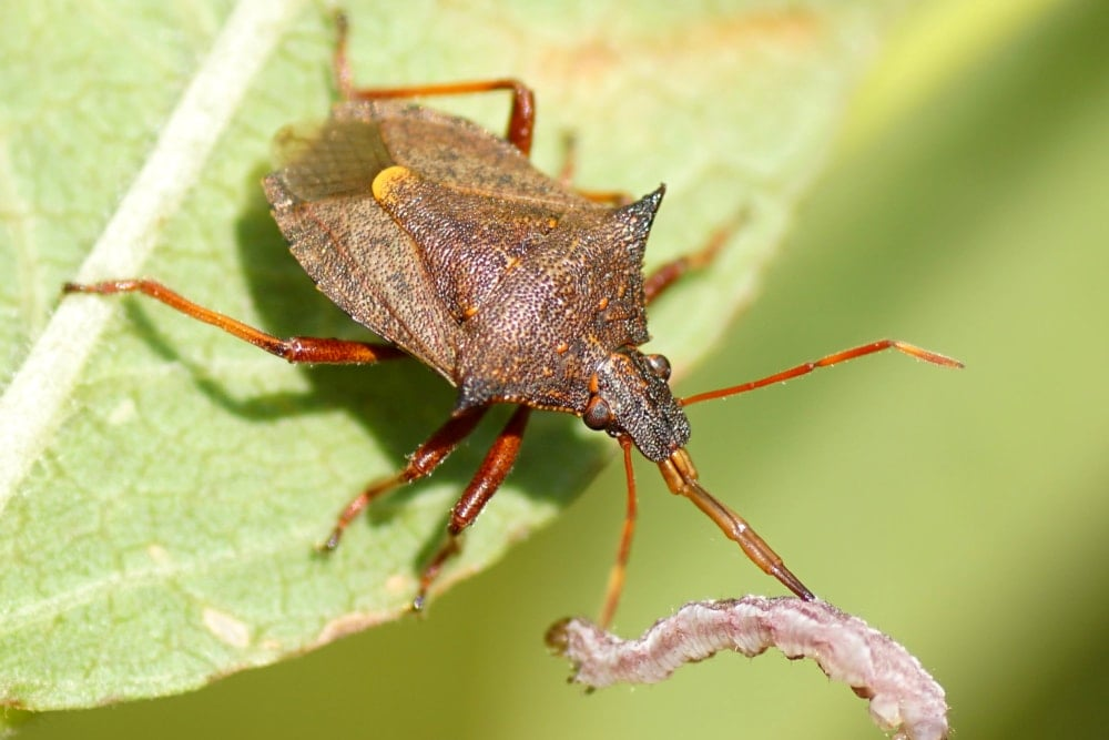 A Picromerus Bidens (spiny shieldbug, spiked shieldbug) from subfamily Asopinae with a caterpillar as a prey. Subfamily Asopinae.