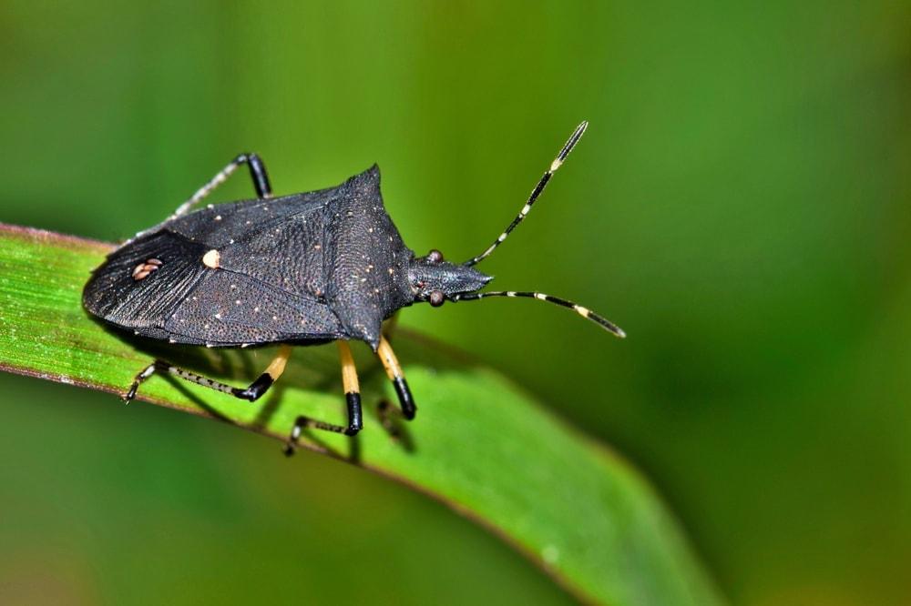 Proxys punctulatus aka Black Stink Bug