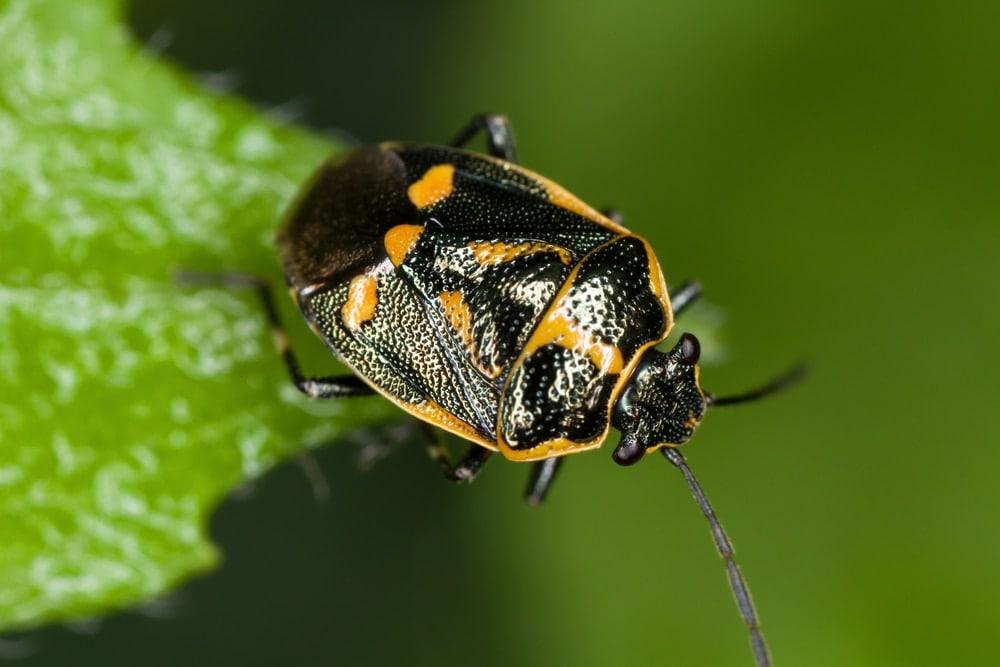 Eurydema oleracea aka cabbage bug
