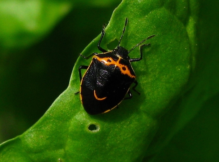 Cosmopepla conspicillaris or hedgenettle stink bug