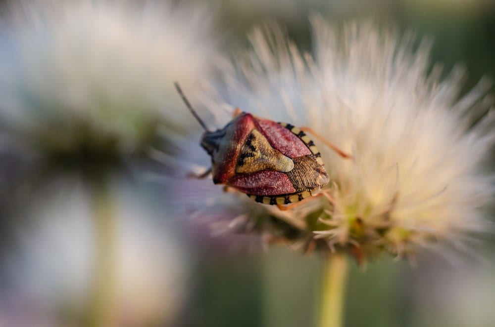 Stink Bug of the Subfamily Pentatominae
