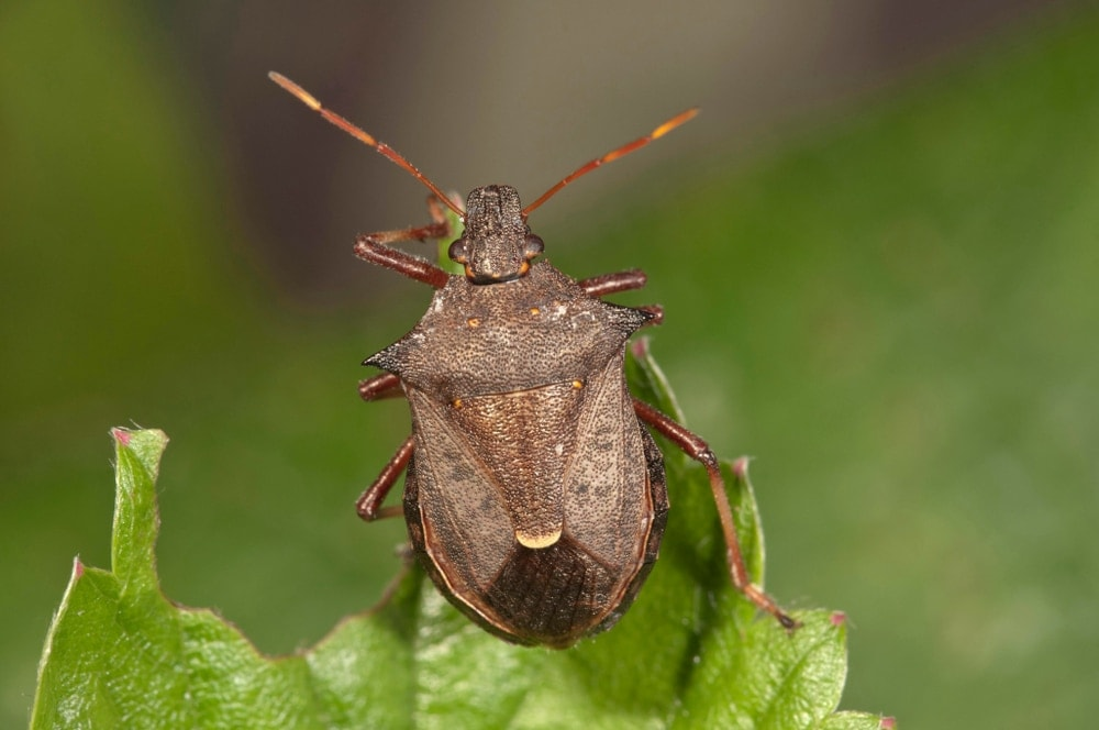 Picromerus Bidens aka Spiny Shield Bug