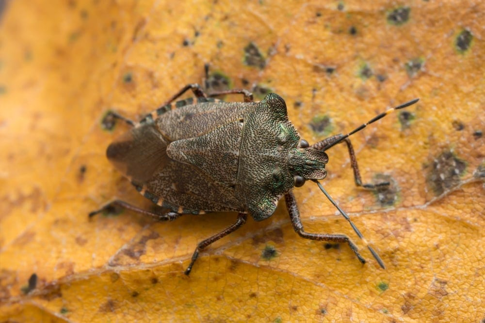 Troilus luridus or bronze shield bug