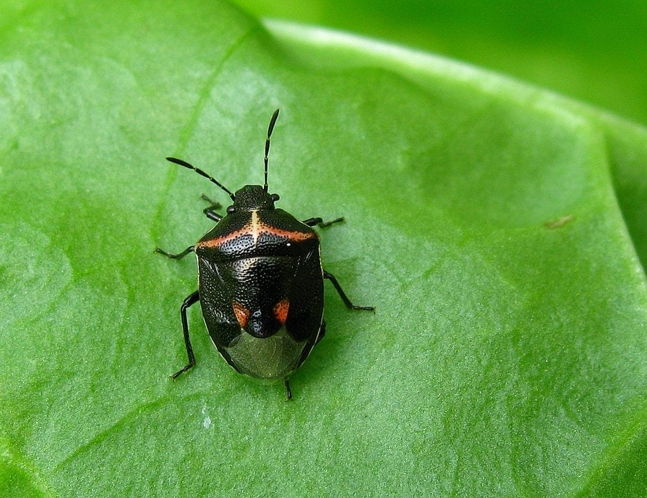 Cosmopepla lintneriana aka Twice-Stabbed Stink Bug