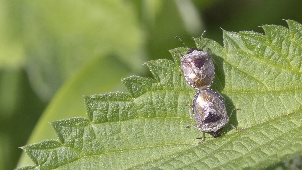 Two Woundwort Shieldbug mating