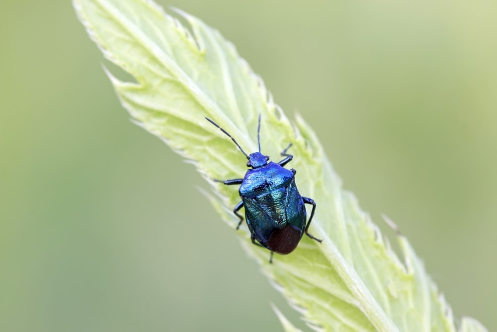 Zicrona caerulea or blue shieldbug