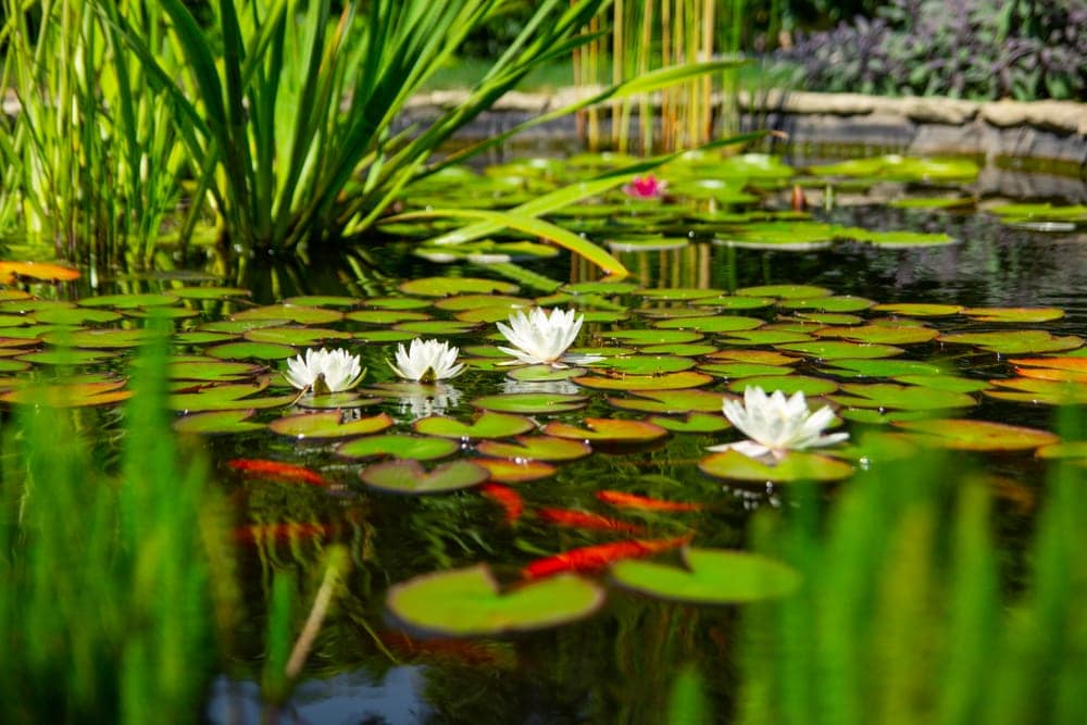 Pond with fish and flowers