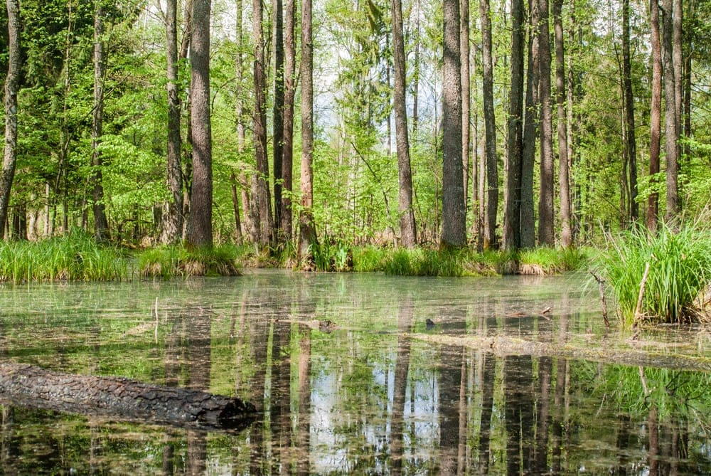 Green swamp in the forest in summer day