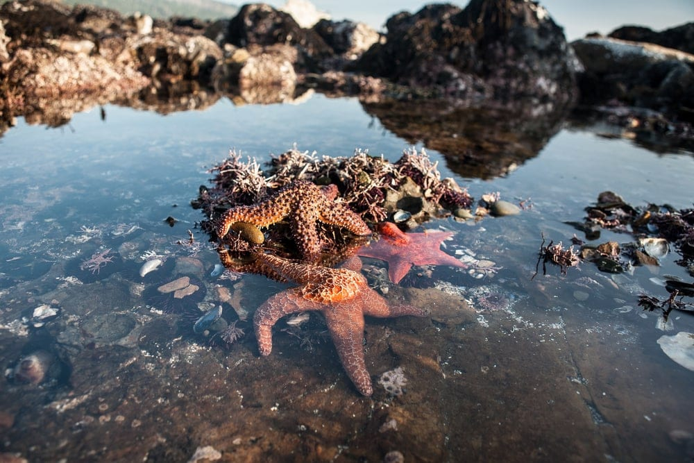 Starfish on a rock during a tide pool
