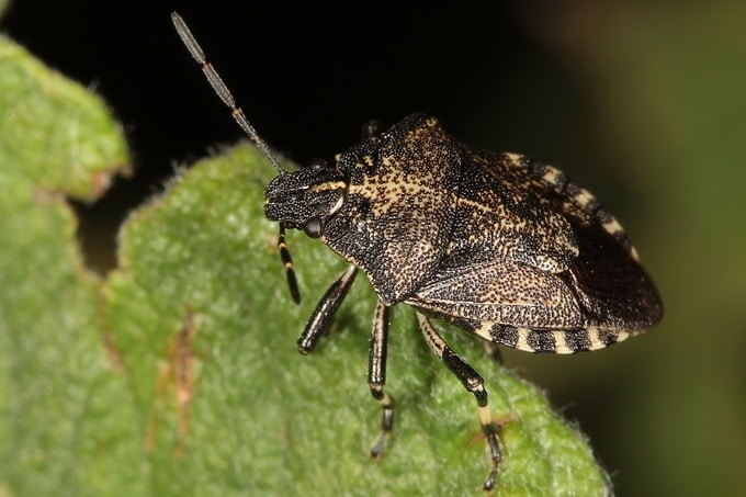 Rhacognathus punctatus aka Heather Bug
