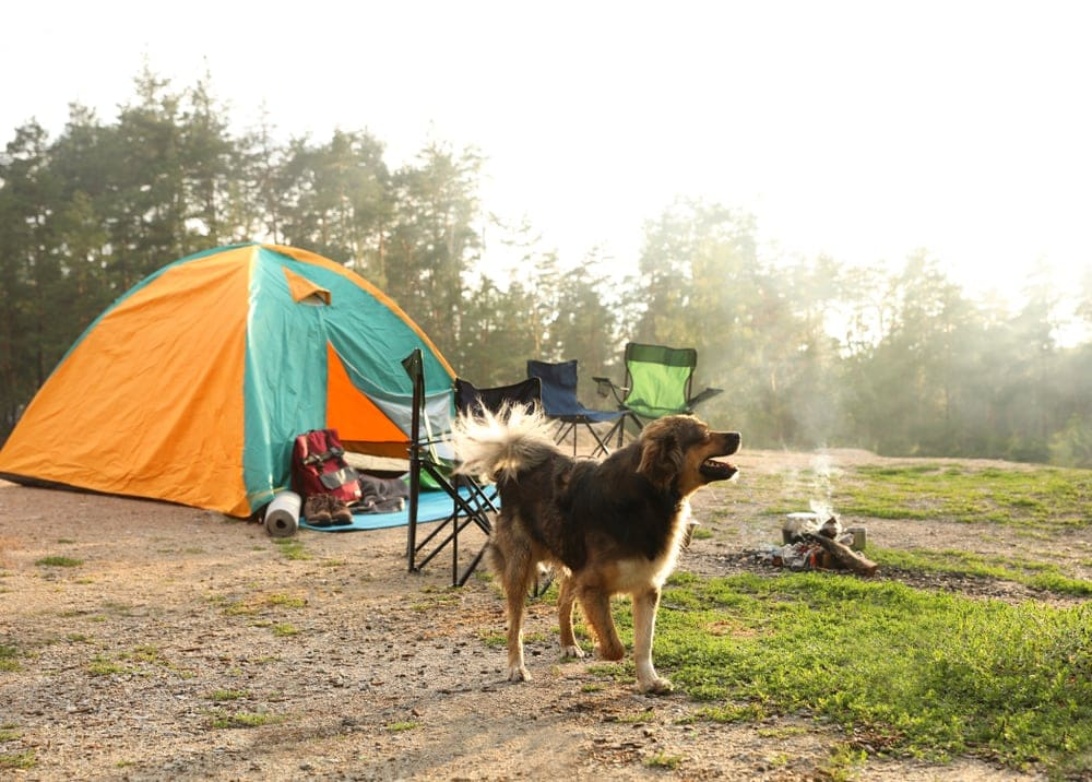 Dog barking with camping tent and camping chair behind