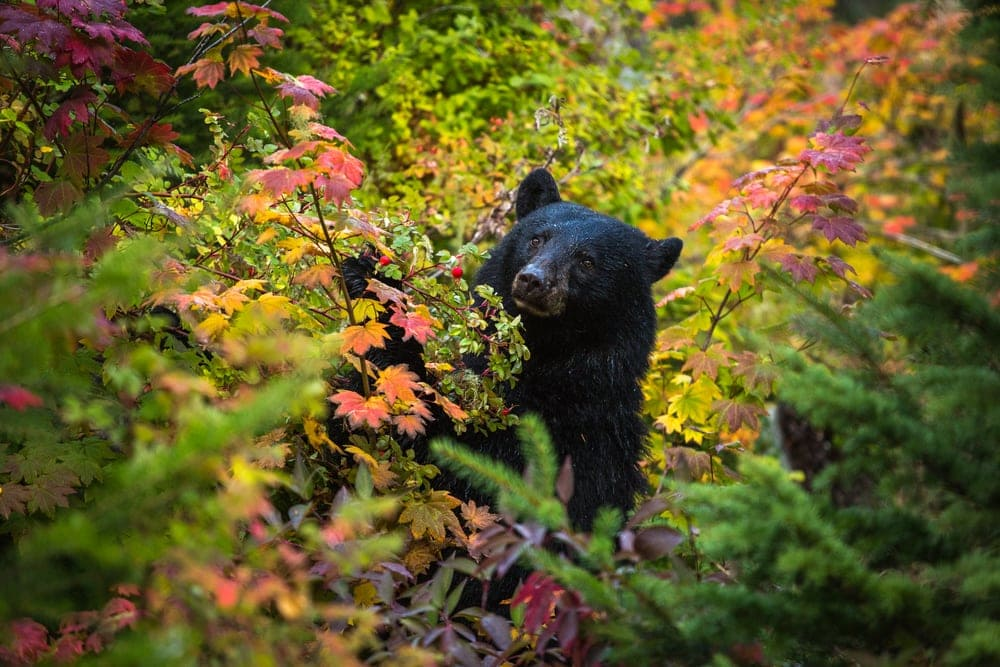 Black bear looking for food and hiding on autumn plants