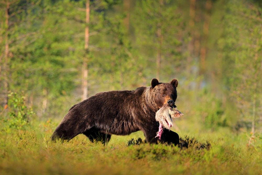 Brown bear walking out with a carcass in a bear country area